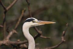 A Grey Heron close-up Royalty Free Stock Photo