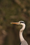 A Grey Heron close-up Royalty Free Stock Image
