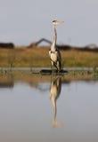A Grey Heron close-up Royalty Free Stock Photos