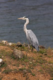 A Grey Heron close-up Royalty Free Stock Images