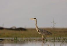 A Grey Heron close-up Stock Photography