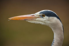 Grey heron close-up Royalty Free Stock Photo