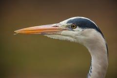 Grey heron close-up Royalty Free Stock Photo