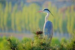 Grey Heron Stock Photography