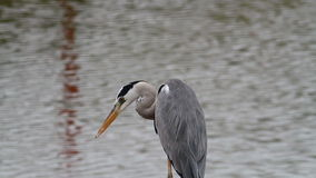 Grey Heron Close-up 2 stock video footage