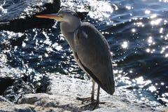 Grey Heron , Close up stock photos