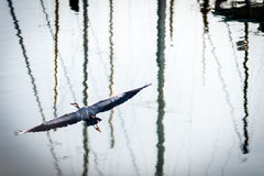 Grey Heron close view on flight Royalty Free Stock Photo