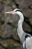 Grey heron closeup Royalty Free Stock Image