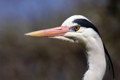 Grey heron closeup Stock Photo