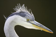 Grey Heron closeup Royalty Free Stock Photos