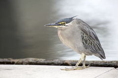 Grey Heron Closeup joven Imagen de archivo