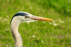 Grey heron closeup Royalty Free Stock Photography