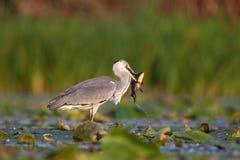 Grey Heron com rapina Imagens de Stock Royalty Free