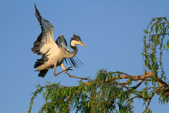 Grey Heron coming in to land. On a tree top royalty free stock photos