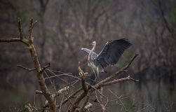 Grey Heron con le ali aperte Fotografie Stock
