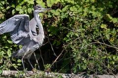 Grey Heron con un cattivo giorno dei capelli Fotografia Stock