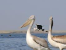 Grey Heron between Dalmatian Pelicans Royalty Free Stock Photo