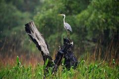 Grey heron in Danube Delta stock image