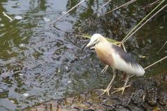 Grey Heron, das auf der Wurzel im Baum im Wasser steht stockbild