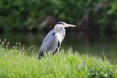 Grey Heron, das auf Fische, an Sprotbrough-Blitz, Doncaster aufpasst Lizenzfreies Stockbild