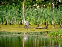 Grey Heron, das auf Niederlassung stillsteht Stockbild