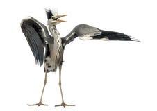 Grey Heron, das einen fügenden Tanz, Ardea Cinerea tut Stockbilder