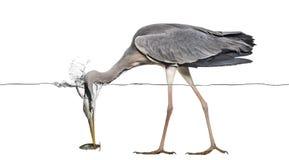 Grey Heron, das einen Fisch unter Wasserlinie fängt Stockbilder