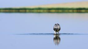 Grey Heron, das frühen Morgen am seichten Wasser jagt Lizenzfreie Stockfotos