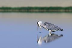 Grey Heron an der Jagd für einen Fisch Stockfotografie