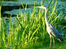 Grey Heron dichtbij het meer stock foto's
