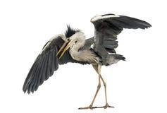 Grey Heron die een het koppelen dans, Cinerea Ardea doen, 5 jaar oud stock foto