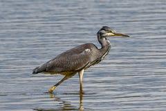 Grey Heron die in een meer waden stock fotografie