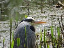 Grey Heron, die op Lunch wachten royalty-vrije stock afbeeldingen