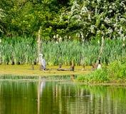 Grey Heron die op tak rusten Royalty-vrije Stock Foto's