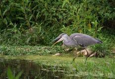 Grey Heron die vissen slikken Royalty-vrije Stock Afbeeldingen