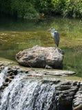 Grey Heron die zich bij het binnenwater op een grote rots dichtbij de waterval bevinden royalty-vrije stock afbeeldingen
