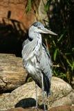 Grey Heron die zich door water bevinden royalty-vrije stock afbeelding