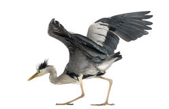 Grey Heron doing a mating dance, 5 years old, Ardea Cinerea Stock Photos