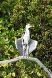 Grey heron drying in the sun Stock Image