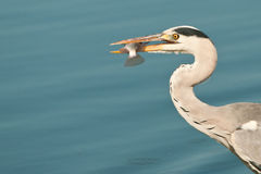 Grey heron eating a fish. A large bird feeding on aquatic prey in shallow water in inland water bodies Stock Photo