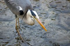 Grey Heron Eating Fish Stock Images