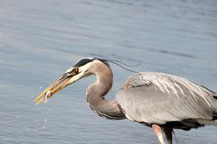 Grey heron eating fish Royalty Free Stock Images