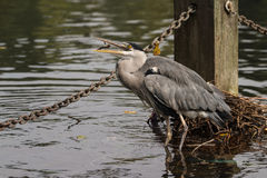 Grey heron eating a fish Royalty Free Stock Image