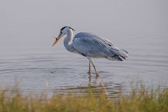 Grey Heron eating. Fish in water Royalty Free Stock Photo