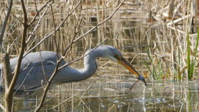 Grey Heron eating afrog. Grey Heron, ardea cinerea, eating a frog in a creek filled with reed stock video