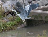 Grey Heron effectue le vol Photo stock