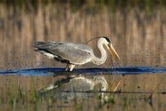 Grey Heron, el fising cinerea del Ardea en el pantano fotos de archivo libres de regalías