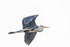 Grey Heron em voo Imagens de Stock