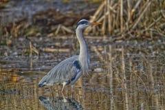 Grey Heron en het water Stock Afbeelding