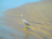 Grey Heron en la playa arenosa durante alta marea Foto de archivo